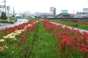 高良川の彼岸花